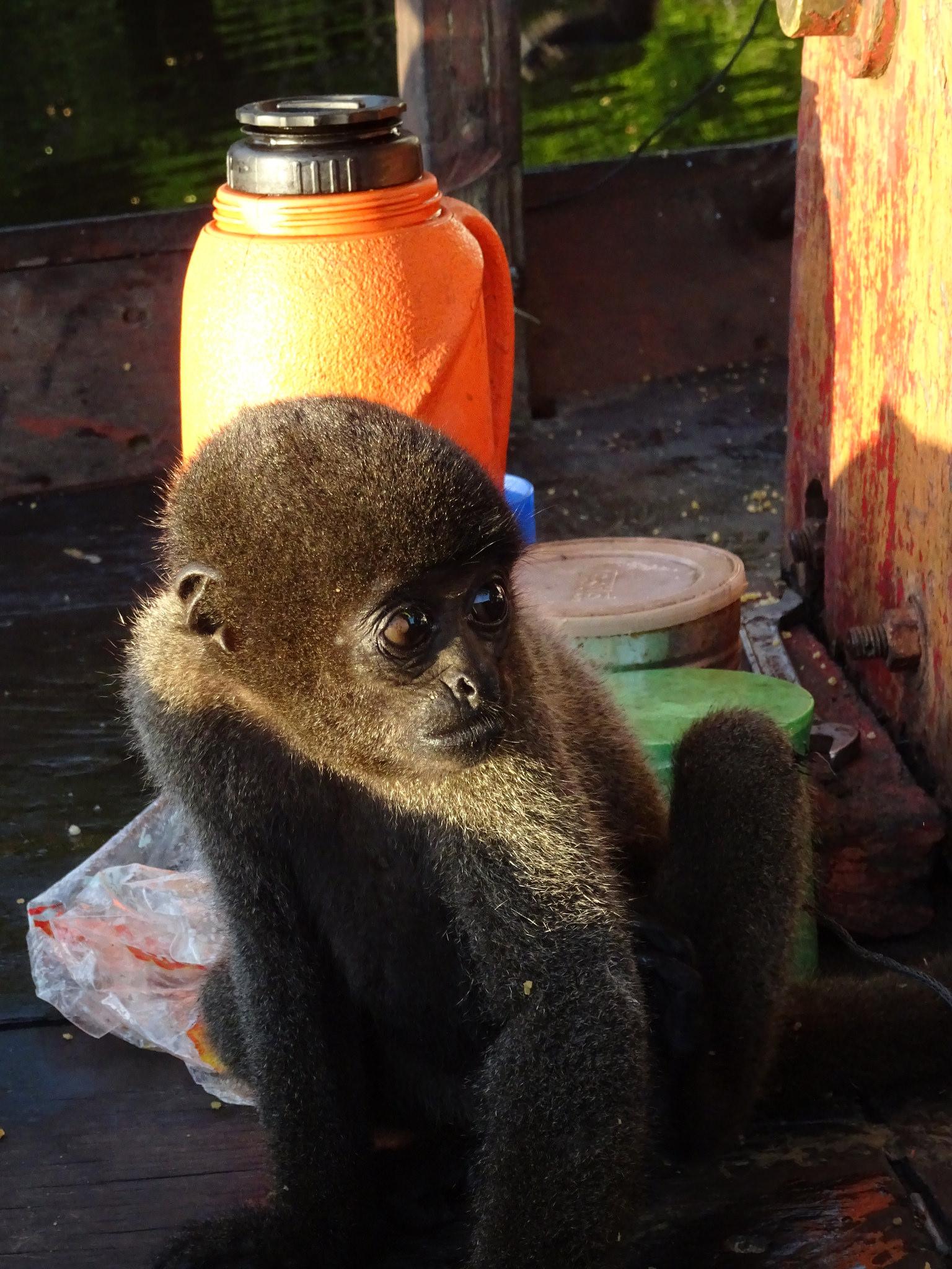 Bébi majom